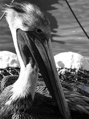 Photograph - Pelican by Frederic BONNEAU Photography