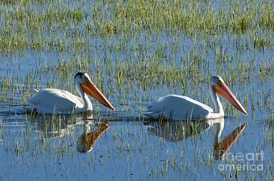 Photograph - Pelicans In Hayden Valley by Sandra Bronstein