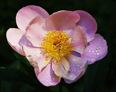 Photograph - Peony Shines by Al Fritz