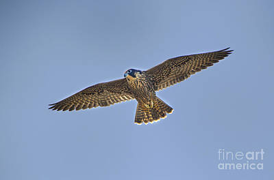 Photograph - Peregrine Falcon Falco Peregrinus Wild California by Dave Welling