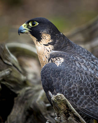 Photograph - Peregrine Falcon by Jack R Perry