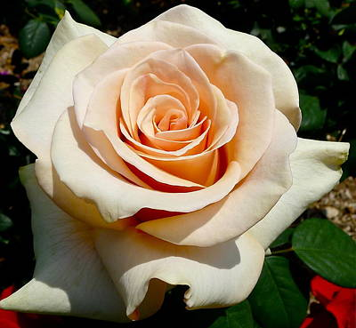 Photograph - Perfect Rose by Denise Mazzocco