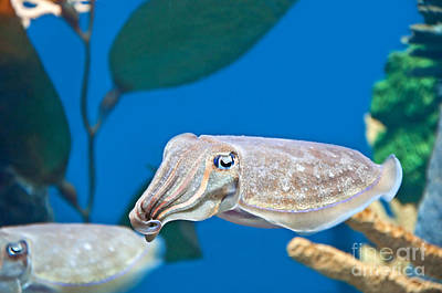 Photograph - Pharaoh Cuttlefish by Valerie Garner