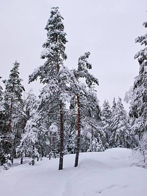 Jouko Lehto Royalty-Free and Rights-Managed Images - Pine forest winter by Jouko Lehto