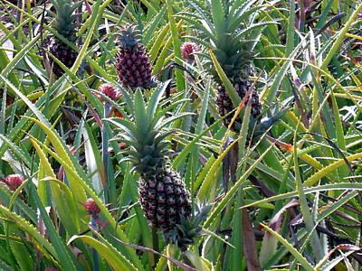 Photograph - Pineapple Dance by Phillip Garcia