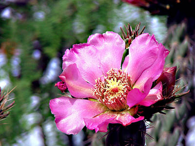 Photograph - Pink Cactus Flower by Linda Cox