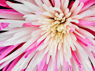 Pink Chrysanthemum Flower Isolated On Black Background. Macro  Art Print