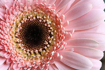 Daisy Photograph - Pink by JC Findley