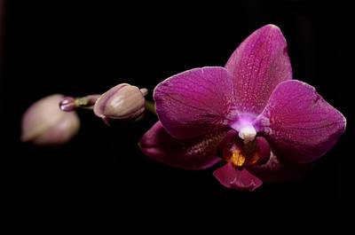 Pink Orchid Original