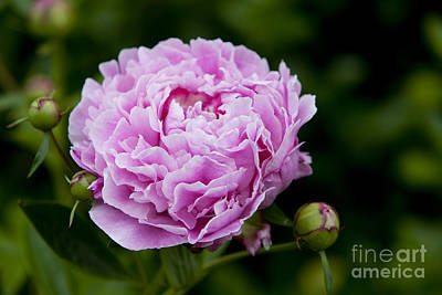 Photograph - Pink Peony by Brian Jannsen