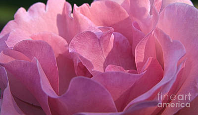 Photograph - Pink Rose by Jeannette Hunt