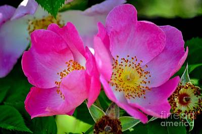 Pink Rose Print by Mandy Judson