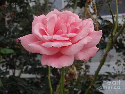 Photograph - Pink Rose by Rod Ismay