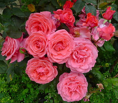 Photograph - Pink Roses by Denise Mazzocco