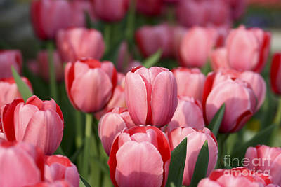 Photograph - Pink Tulips by Brian Jannsen