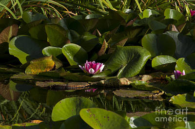 Winter Animals Rights Managed Images - Pink Water Lily Royalty-Free Image by Mandy Judson