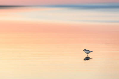 Piping Plover Art Print by Bill Wakeley