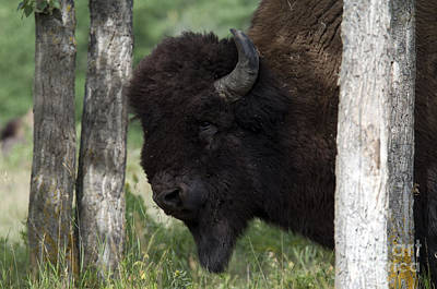 Plains Bison Print by Mark Newman