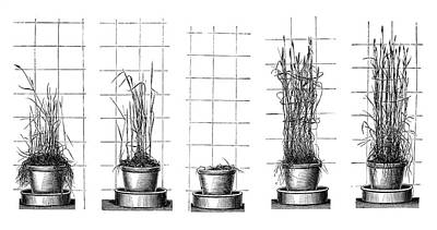Plant Growth Experiments Print by Science Photo Library