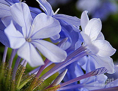 Plumbago Summer Solstice In New Orleans Louisiana Art Print by Michael Hoard