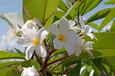 Photograph - Plumeria by John Black