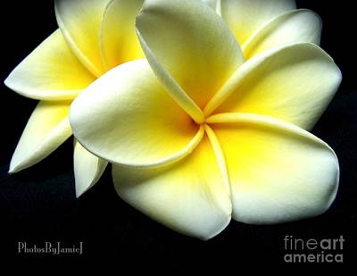 Photograph - Plumerias by Jamie Johnson