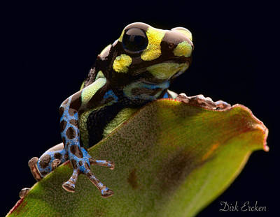 Photograph - Poison Arrow Frog by Dirk Ercken