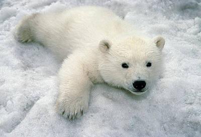 Polar Bear Cub Playing In Snow Alaska Art Print by Mark Newman