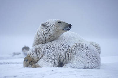 Winter Storm Photograph - Polar Bear Sow With Cub Resting by Steven Kazlowski