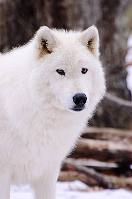 Photograph - Polar Wolf by Gary Slawsky