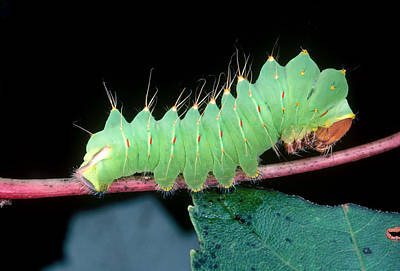 Photograph - Polyphemus Moth Caterpillar by Millard H. Sharp