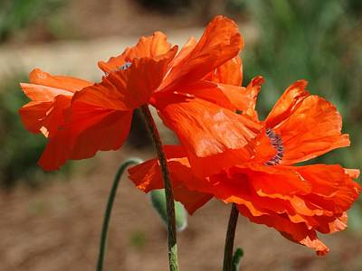 Poppies Photograph - Poppies by Rebecca Overton