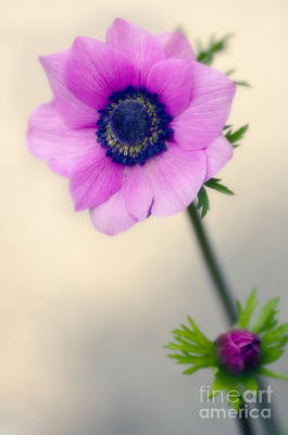 One Single Pink Poppy Flower Photograph - Poppy Anemone Anemone Coronaria by Maria Mosolova