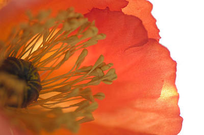 Photograph - Poppy by Kathleen Messmer