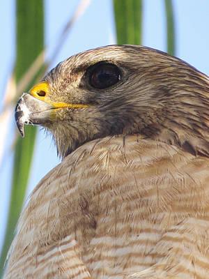 Portrait Of A Hawk Original by Zina Stromberg