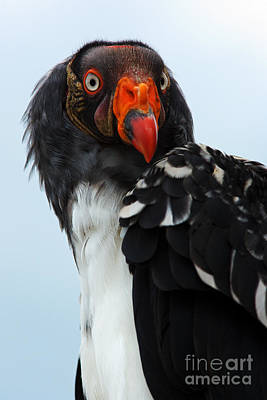Photograph - Portrait Of A King Vulture by Nick  Biemans