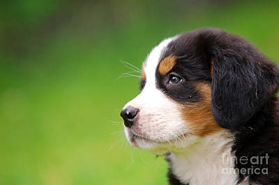 Darling Photograph - Portrait Of Bernese Mountain Dog by Michal Bednarek