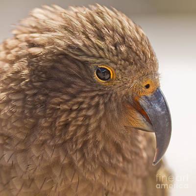 Vandalize Photograph - Portrait Of Nz Alpine Parrot Kea Nestor Notabilis by Stephan Pietzko