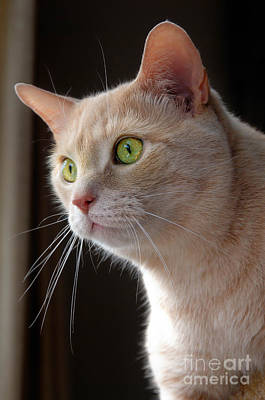 Eye Photograph - Portrait Orange Tabby Cat by Amy Cicconi