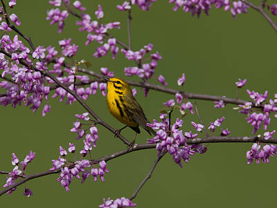 Warbler Digital Art - Prairie Warbler by William Norton