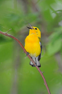 Photograph - Prothonotary Warbler by Alan Lenk