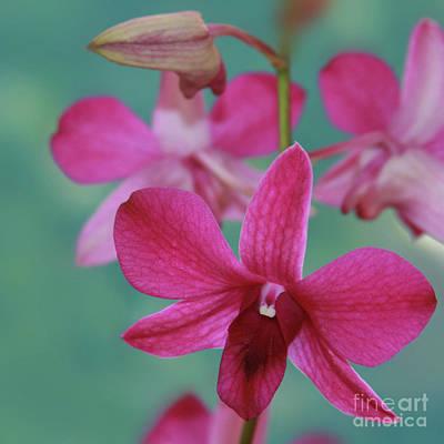 Photograph - Puanani Kealoha Dendrobium D Burana Red Flame Hawaiian Orchid by Sharon Mau