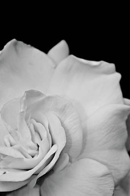 Crystal Wightman Rights Managed Images - Black and White Flower Royalty-Free Image by Crystal Wightman