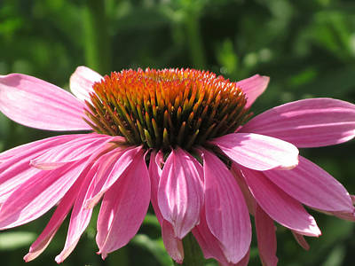Butterfly Photograph - Purple Coneflower by Rebecca Overton