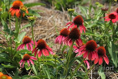 Photograph - Purple Coneflowers by Theresa Willingham