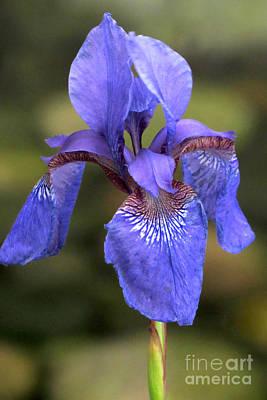 Photograph - Purple Iris by Frank Townsley