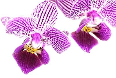 Photograph - Purple Orchid-5 by Rudy Umans