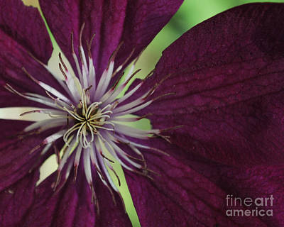 Photograph - Purple Star by Terri Oberg