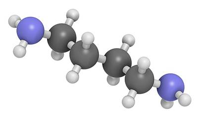 Vagina Photograph - Putrescine Foul Smelling Molecule by Molekuul