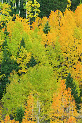 Quaking Aspen Photograph - Quaking Aspens In A Fall Glow by Maresa Pryor